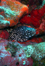 moray eel in reef - st martin
