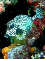 trunk fish on reef - scuba diving in st maarten