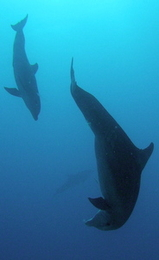 playful dolphins - scuba diving in st maarten