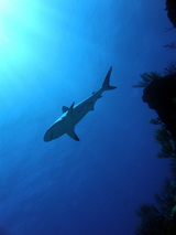 shark - diving on st maarten