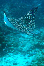 spotted eagle ray - st maarten