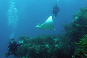 Eagle ray during scuba dive st maarten
